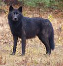 128px-Wolf_Lower_Post_Indian_Reserve
