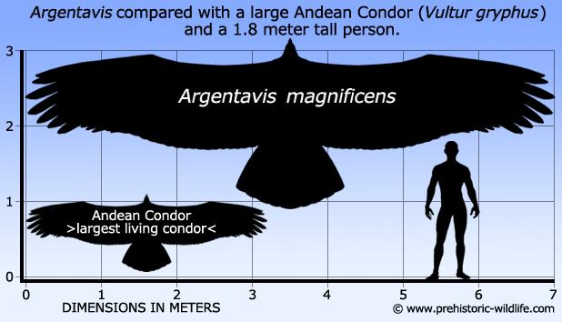argentavis-size