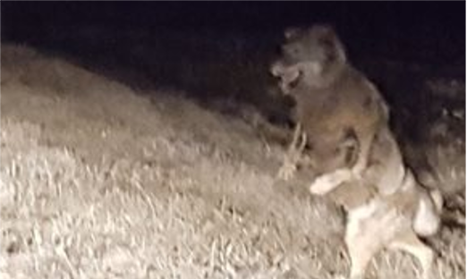 "Concerning the ""Wolf Walking like a Human"" – The National"