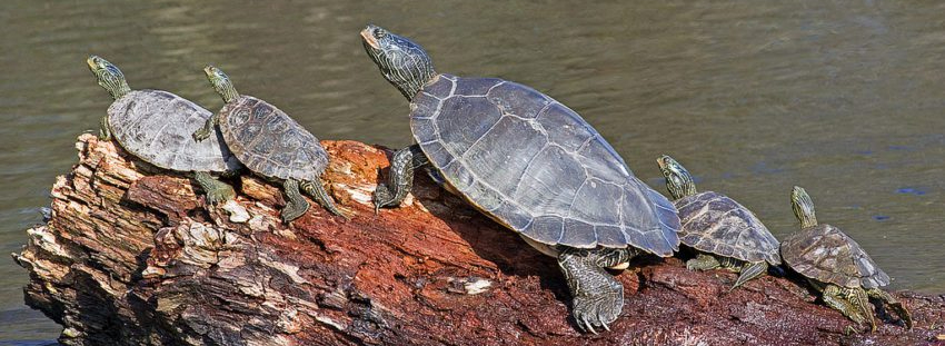 common_map_turtle_graptemys_geographica-850x500.jpg