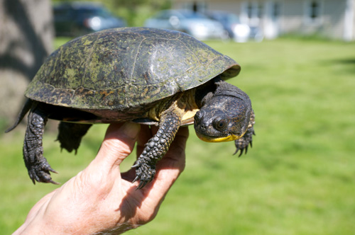 oldest-well-documented-blanding-s-turtle-recaptured-at-u-m-reserve-at-age-83-turtle-20160525