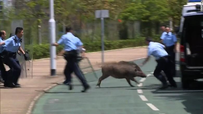 170625040505-hk-wild-boar-exlarge-169